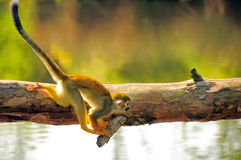 Squirrel monkey. A common squirrel monkey stock image