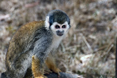 Squirrel Monkey. From the jungles of Ecuador Royalty Free Stock Images