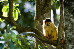Free Squirrel Monkey Royalty Free Stock Images - 12297679