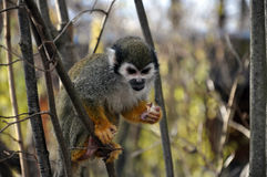 Squirrel Monkey. Cute Squirrel monkey, eating a piece of bread stock images