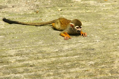 Squirrel monkey. Was taken in the zoo, using a telephoto lens, digital camera Royalty Free Stock Photos