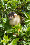 Squirrel monkey. Bolivian squirrel monkey cute small and agile royalty free stock photos