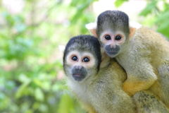 Squirrel monkey. (Saimiri Boliviensis royalty free stock images