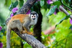 The squirrel monkey. The squirrel monkey saimiri sits on a branch of a tree and poses Royalty Free Stock Photography