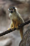 Squirrel monkey. (genus Saimiri). This monkey is posing on a rope. The focus is on the face of the primate stock photography