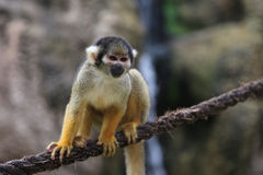 Squirrel monkey. (genus Saimiri). This monkey is posing on a rope. The focus is on the face of the primate stock images