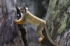 Squirrel monkey. (genus Saimiri). This monkey is posing between two trees. The focus is on the face of the primate stock photos