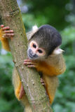 Squirrel monkey Royalty Free Stock Photography