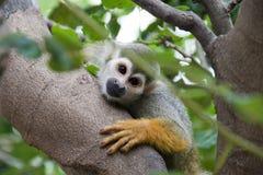 Squirrel monkey. The squirrel monkeys are the New World monkeys of the genus Saimiri Royalty Free Stock Photos