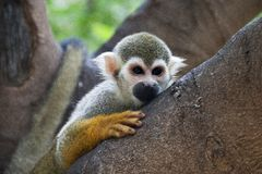 Squirrel monkey Stock Photo