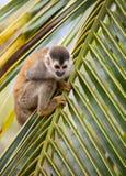 Squirrel monkey stock image