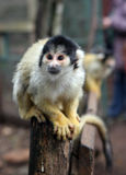 Squirrel monkey. Little squirrel-monkey sitting on the bench back Royalty Free Stock Photography
