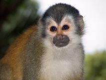 Squirrel monkey. Manuel Antonio Park, Costa Rica royalty free stock images