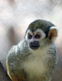 Squirrel Monkey. Close Up Portrait Of Young Squirrel Monkey Royalty Free Stock Photos
