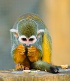 Squirrel Monkey. Feeding time for the Squirrel Monkey stock image