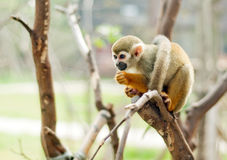 Squirrel monkey. In a branch in Costa Rica Stock Photo