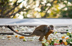 Squirrel monkey . Portrait of a cute squirrel monkey Royalty Free Stock Image