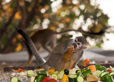Squirrel monkey . Royalty Free Stock Photo