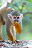 Squirrel monkey. Little squirrel monkey eating seed Royalty Free Stock Photos