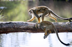 Squirrel monkeys. Common squirrel monkeys royalty free stock images