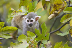 Squirrel Monkey Stock Photography