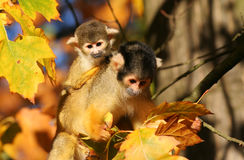 Squirrel monkey. With infant on her back stock image