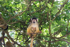 Free Squirrel Monkey Royalty Free Stock Photography - 44060257
