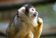 Squirrel monkey. Close-up of profile of squirrel monkey Royalty Free Stock Photo