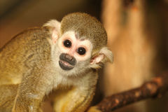 Squirrel monkey. Portrait of squirrel monkey kid Stock Image