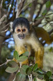 Squirrel monkey. Cute squirrel monkey (saimiri) on a tree royalty free stock photos