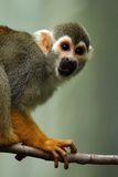 Squirrel Monkey. Cute Squirrel Monkey on a tree branch against a blurred background Stock Photography