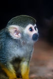 Squirrel Monkey. The curious little squirrel monkey Stock Photography