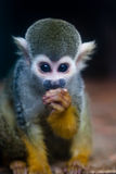 Squirrel Monkey. The curious little squirrel monkey Stock Photo