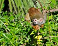 Free Squirrel Monkey Stock Photos - 8762353