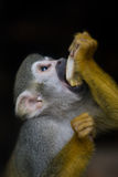 Squirrel Monkey. The curious little squirrel monkey Stock Images