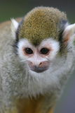 Squirrel Monkey. Looking cute stock images