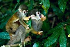 Squirrel Monkey. In amazon rainforest Royalty Free Stock Photos