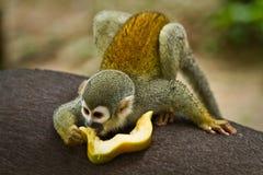 Squirrel monkey in amazon rainforest, Yasuni Stock Photo