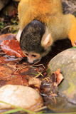 Squirrel monkey animal drinking Royalty Free Stock Photos
