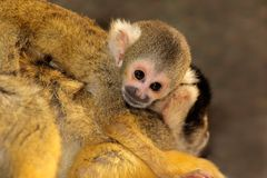 Squirrel monkey with baby Stock Photo
