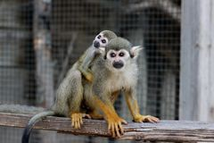 A squirrel monkey baby on his mother`s back in monkey park stock photo