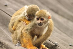 Squirrel monkey with baby Royalty Free Stock Images