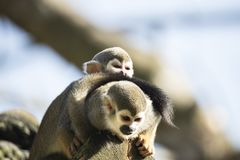 Squirrel monkey with baby Stock Images