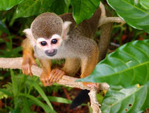Squirrel monkey - River Safari Royalty Free Stock Photography