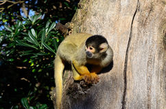 Squirrel monkey. Black capped squirrel monkey in a tree. Habitat: South America Stock Photography