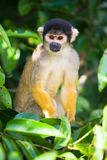 Squirrel monkey, Bolivia. Squirrel monkey, The Pampas, Bolivia stock photos