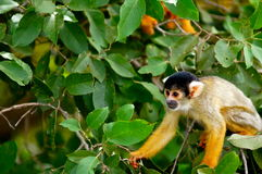 Squirrel Monkey in Bolivian Jungle. Cute Squirrel Monkey (Saimiri) Sub family: (saimirlinae) in Rurrenabaque Jungle Tour royalty free stock image
