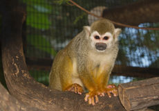 Squirrel Monkey on a branch Royalty Free Stock Photography