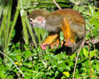 Squirrel monkey on branch Royalty Free Stock Image