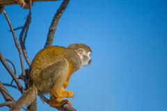 Squirrel Monkey on Branch and blue sky Stock Photo